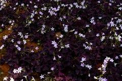 Oxalis triangularis开花的野花 免版税库存图片