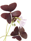 Oxalis triangularis Stock Photo