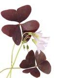 Oxalis triangularis Stockfoto