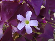 Oxalis triangularis Royaltyfri Foto