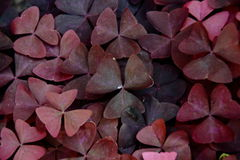 Oxalis triangularis atropurpureus Royalty Free Stock Images