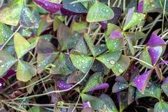 Oxalis triangularis background Stock Photo