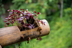 Oxalis triangularis in a bamboo pot. Stock Image