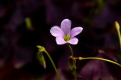 Oxalis triangularis-Blooming wildflowers. Oxalis plant height, basal leaves and white flowers are blooming, rose red, pink, florescence in November. Rhizomes of Royalty Free Stock Photography