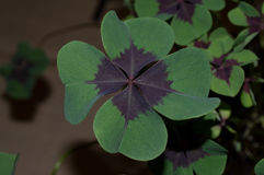 Shamrock `Iron Cross`. Oxalis triangularis, commonly called false shamrock, is a species of edible perennial plant in the Oxalidaceae family. It is endemic to stock photography