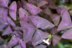 Oxalis triangularis flower Stock Photography