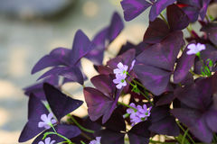 Oxalis triangularis Royalty Free Stock Photography