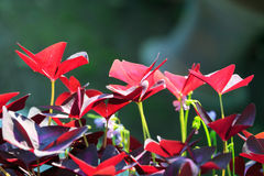 Oxalis triangularis Stock Photos
