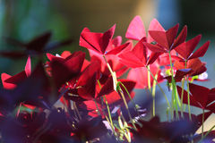 Oxalis triangularis Stock Images