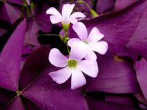 Oxalis triangularis flowers blooming Royalty Free Stock Photography