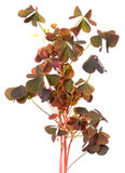 Oxalis triangularis flowers Stock Image