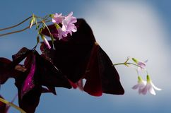 Oxalis triangularis flowers and leaves stock image