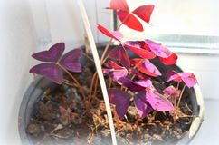 Oxalis triangularis -  houseplant Royalty Free Stock Image
