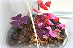 Oxalis triangularis -  houseplant Royalty Free Stock Image