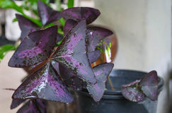 Oxalis triangularis Stock Photography