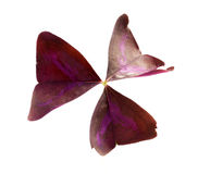 Oxalis triangularis (Purple shamrock) foliage Stock Photo