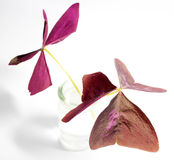 Oxalis triangularis (Purple shamrock) foliage Stock Images