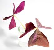 Oxalis triangularis (Purple shamrock) foliage Stock Images