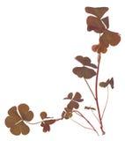 Oxalis triangularis (Purple shamrock) Royalty Free Stock Photos
