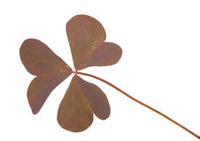Oxalis triangularis (Purple shamrock) Stock Images