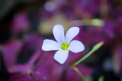 Oxalis triangularis. & x28;purple shamrock& x29 Stock Image