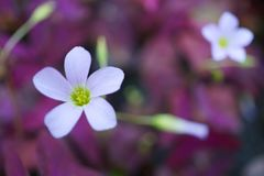 Oxalis triangularis. & x28;purple shamrock& x29 Royalty Free Stock Image