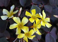 Yellow shamrock flowers in bloom royalty free stock image