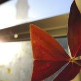 Oxalisblad die Zonneschijn zoeken Royalty-vrije Stock Afbeeldingen