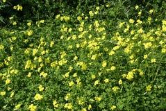 Oxalis观点扫描器caprae花卉生长在一个领域在春天 免版税库存图片