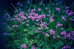 Oxaliscorniculata L royalty-vrije stock foto's