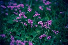 Oxaliscorniculata L stock afbeeldingen