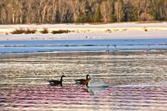 Oxbow bend. Pelican and canadian geese at Oxbow bend in Grand Teton National Park Stock Photography