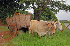 Oxcart stock photos