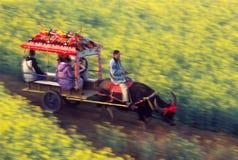 Oxcart nel giacimento del seme di ravizzone Fotografia Stock Libera da Diritti