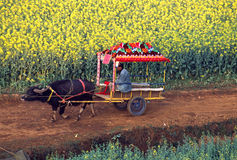 Oxcart in the rape seed field Royalty Free Stock Photography