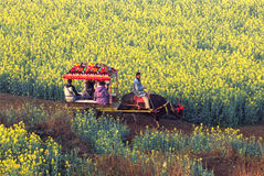 Oxcart in the rape seed field Stock Images
