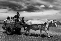 Oxcart Riding Royalty Free Stock Photo