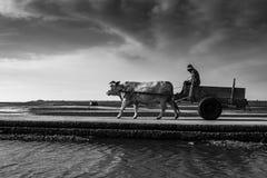 Oxcart ridning Arkivfoto