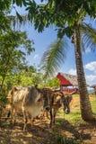Oxcart/tjurar i den Vinales nationalparken, UNESCO, Pinar del Rio Province, Kuba, västra Indies som är karibiska arkivbilder