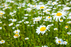 Oxe eye daisies Royalty Free Stock Photography