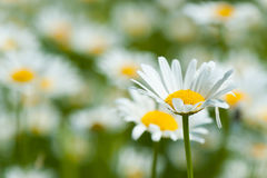 Oxe eye daisy flowers in spring Royalty Free Stock Photos