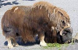 oxe för musk 10 Fotografering för Bildbyråer