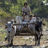 Oxe och vagn - Inle - Myanmar Royaltyfria Foton
