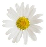 Oxeeye雏菊, Leucanthemum在白色背景隔绝的vulgare花 免版税库存照片