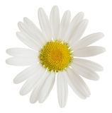 Oxeeye daisy, Leucanthemum vulgare flower isolated on white background Royalty Free Stock Photo