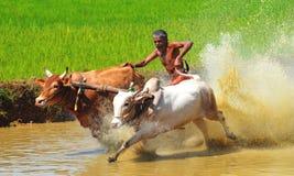 Oxelopp av Kerala, Indien Royaltyfri Bild