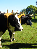 Oxen. Team of oxen yoked and ready to worked together Royalty Free Stock Images