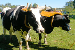 Oxen. Team that is yoked and ready to work Stock Photo
