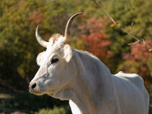 OXEN. Portrait of white oxenin countryside scenic Stock Photography