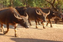Oxen stock images